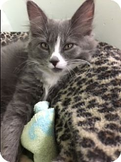 Domestic Mediumhair Kitten for adoption in Medina, Ohio - Kluber