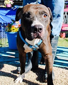 Pit Bull Terrier Mix Dog for adoption in Odessa, Texas - Ozzie