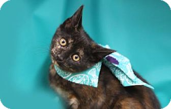Domestic Shorthair Kitten for adoption in Voorhees, New Jersey - Jenna