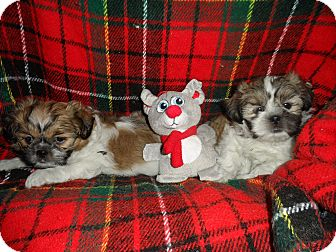 Shih Tzu Puppy for adoption in Riverside, California - Two Wise Shih Tzu