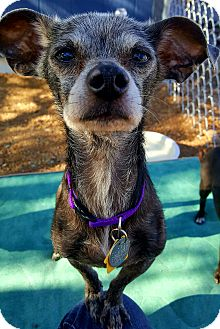 Mexican Hairless Mix Dog for adoption in New River, Arizona - Zena