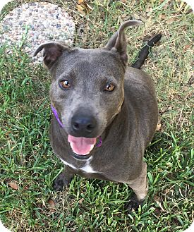 Terrier (Unknown Type, Medium)/Blue Lacy/Texas Lacy Mix Dog for adoption in San Antonio, Texas - Princess Kirby