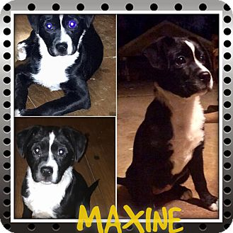 Border Collie/Collie Mix Puppy for adoption in HAGGERSTOWN, Maryland - MAXINE