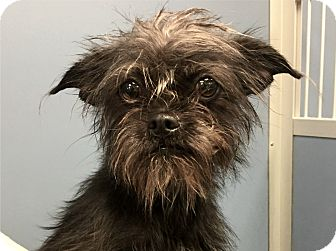 Affenpinscher/Terrier (Unknown Type, Small) Mix Puppy for adoption in Rancho Palos Verdes, California - LIL BIT