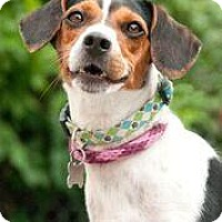 Adopt A Pet :: Muffin - FEE SPONSORED BY BARKWORTHIES! - Chicago, IL