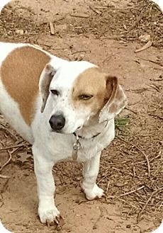 Jack Russell Terrier/Beagle Mix Dog for adoption in Greensboro, Georgia - Colson