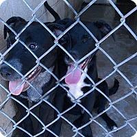 Adopt A Pet :: Haru - Manhattan, KS