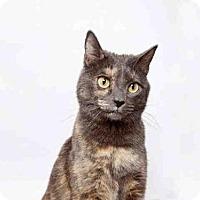 Domestic Mediumhair Cat for adoption in Murray, Utah - CROWLY