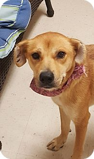Golden Retriever/Spaniel (Unknown Type) Mix Dog for adoption in Kittery, Maine - Star