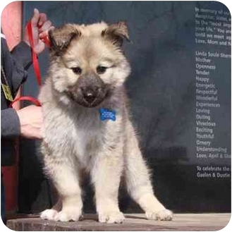 Keeshond Mix Puppy for adoption in Denver, Colorado - Candy