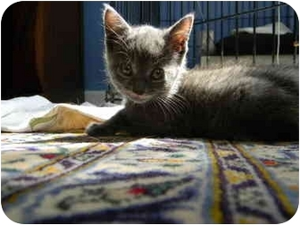 Domestic Shorthair Kitten for adoption in Frenchtown, New Jersey - Willow