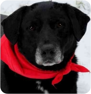 Labrador Retriever Dog for adoption in Pawling, New York - TASSY