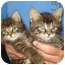 Photo 2 - Domestic Shorthair Kitten for adoption in Richmond, Virginia - Pumpernickel