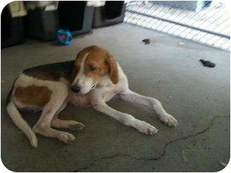 Hound (Unknown Type) Mix Dog for adoption in Henderson, North Carolina - Midas