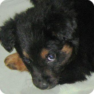 German Shepherd Dog/Bernese Mountain Dog Mix Puppy for adoption in Oswego, Illinois - I'M ADPTD XMas Cts Ltr AngelLo