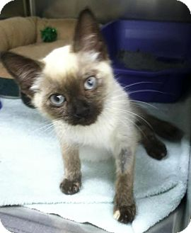 Siamese Kitten for adoption in Edmond, Oklahoma - Matilda