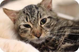 Domestic Mediumhair Cat for adoption in Sacramento, California - Jermaine