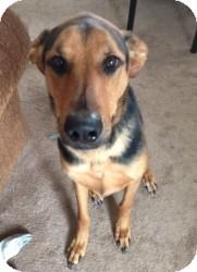 German Shepherd Dog/Doberman Pinscher Mix Dog for adoption in Encino, California - Morgan