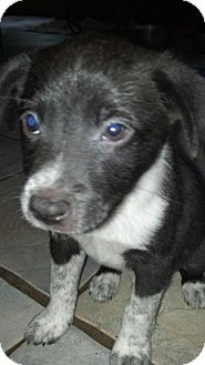 Australian Shepherd Mix Puppy for adoption in Cranford, New Jersey - Bradley