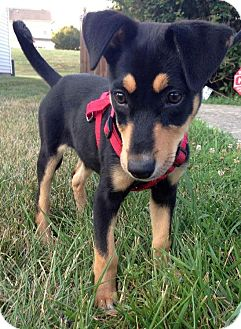 Doberman Pinscher Mix Puppy for adoption in Charlotte, North Carolina - Delilah