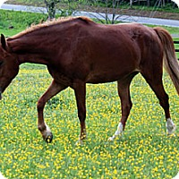 Tennessee Walking Horse Mix for adoption in Fairfax, Virginia - Penny