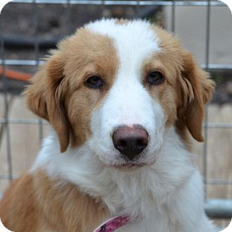 Border Collie/Great Pyrenees Mix Dog for adoption in Garland, Texas - Melody