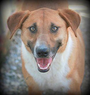 Basenji Mix Dog for adoption in Poland, Indiana - Cowboy