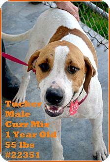 Black Mouth Cur/Labrador Retriever Mix Dog for adoption in Beaumont, Texas - Tucker