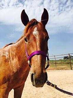 Quarterhorse Mix for adoption in Guthrie, Oklahoma - Erwyn