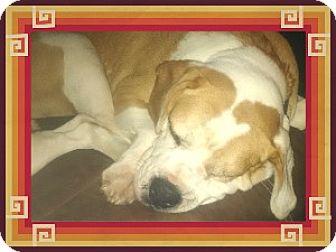 English Bulldog/Beagle Mix Dog for adoption in Duart, Ontario - Dewey