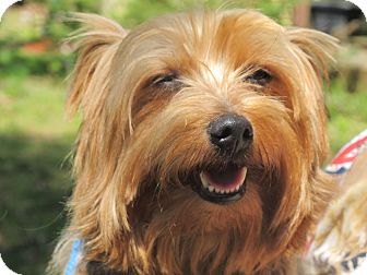 Yorkie, Yorkshire Terrier Dog for adoption in Harrisonburg, Virginia - Sebastian