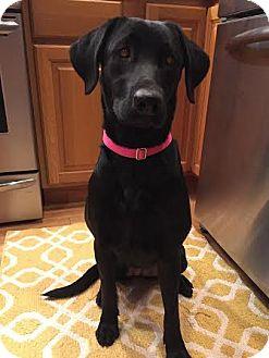 Labrador Retriever Dog for adoption in China, Michigan - Opal - PENDING