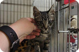 Domestic Shorthair Kitten for adoption in Henderson, North Carolina - Jonathan*
