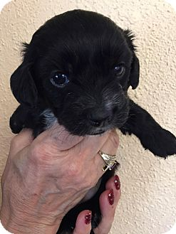 Terrier (Unknown Type, Small)/Cairn Terrier Mix Puppy for adoption in Encino, California - Spirit Puppy