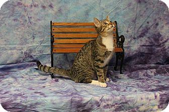 Domestic Shorthair Kitten for adoption in Stockton, California - Kitto