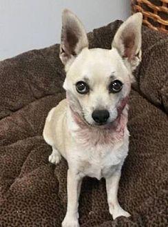 Chihuahua Mix Dog for adoption in Scottsdale, Arizona - Rosita