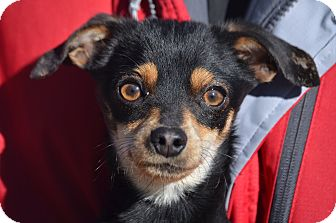 Chihuahua/Miniature Pinscher Mix Dog for adoption in Sparta, New Jersey - Bubba