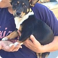 Adopt A Pet :: Mickey - Scottsdale, AZ