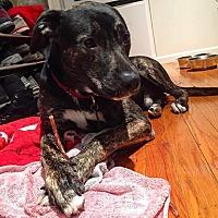 Shepherd (Unknown Type)/Border Collie Mix Dog for adoption in Chicago, Illinois - Lexington
