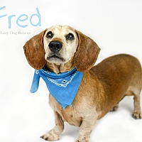 Dachshund Dog for adoption in Valley Center, California - Fred