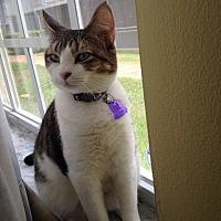 Adopt A Pet :: Mishi - oakland park, FL