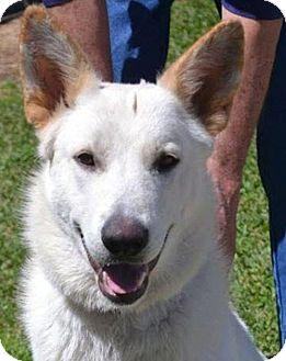 German Shepherd Dog Mix Dog for adoption in Preston, Connecticut - Apollo AD 05-20-17