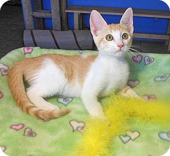 American Shorthair Kitten for adoption in Glendale, Arizona - Maverick