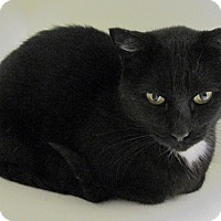 Domestic Shorthair Cat for adoption in Georgetown, Texas - Buffy