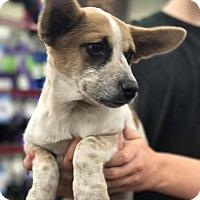 Adopt A Pet :: Leia - Fresno, CA
