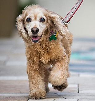 Cocker Spaniel Dog for adoption in Enterprise, Florida - Abby and Clancy (Coral Gables, FL)