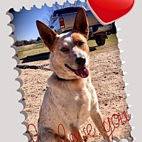 Australian Cattle Dog Dog for adoption in Quinlan, Texas - Charlie