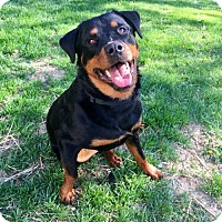 Rottweiler Dog for adoption in Blacklick, Ohio - Axl