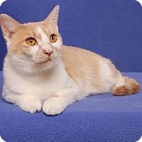 Adopt A Pet :: Bluebell  (FeLV positive) - Cary, NC