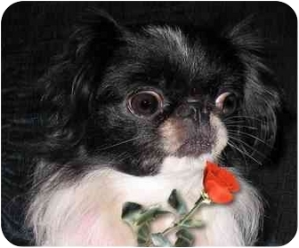 Japanese Chin Dog for adoption in Mays Landing, New Jersey - Lola